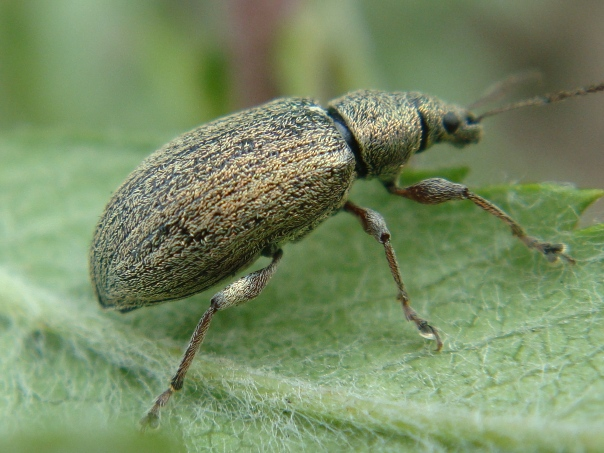 Phyllobius spec.