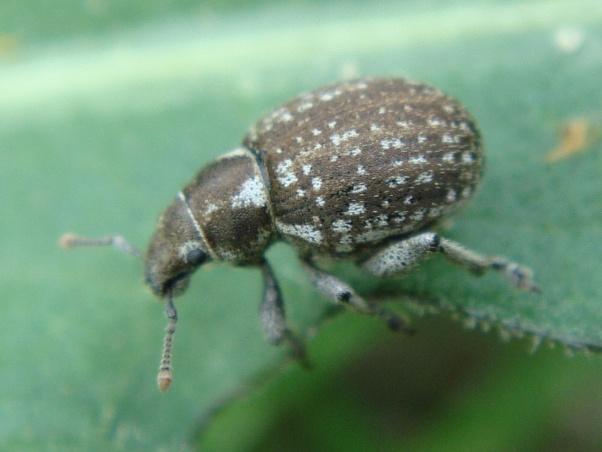 Phyllobius plagiatus