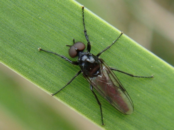 Dilophus febrilis(m)