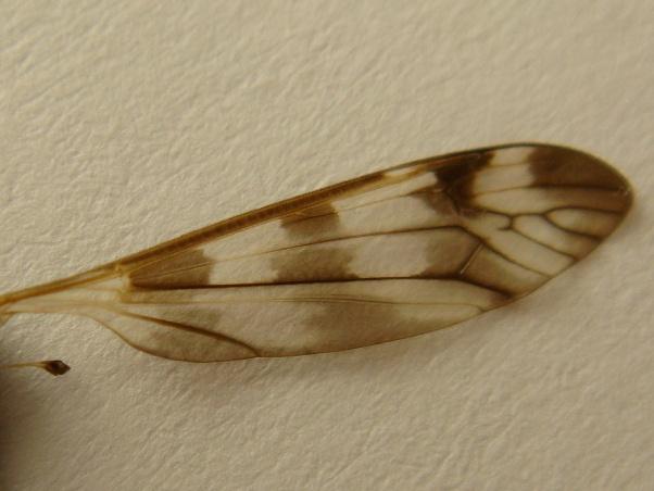 Tipula trifascingulata