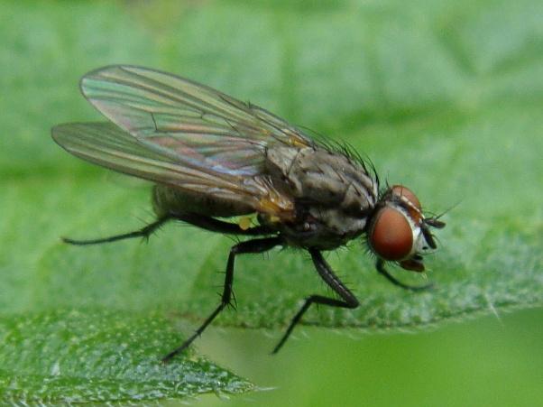 Botanophila fugax(f)