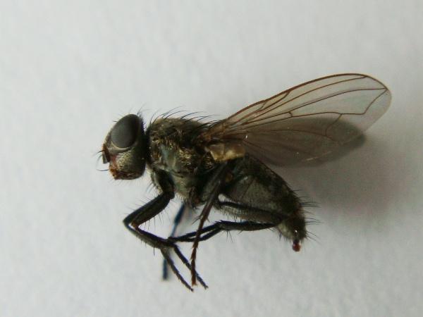 Pollenia griseotomentosa