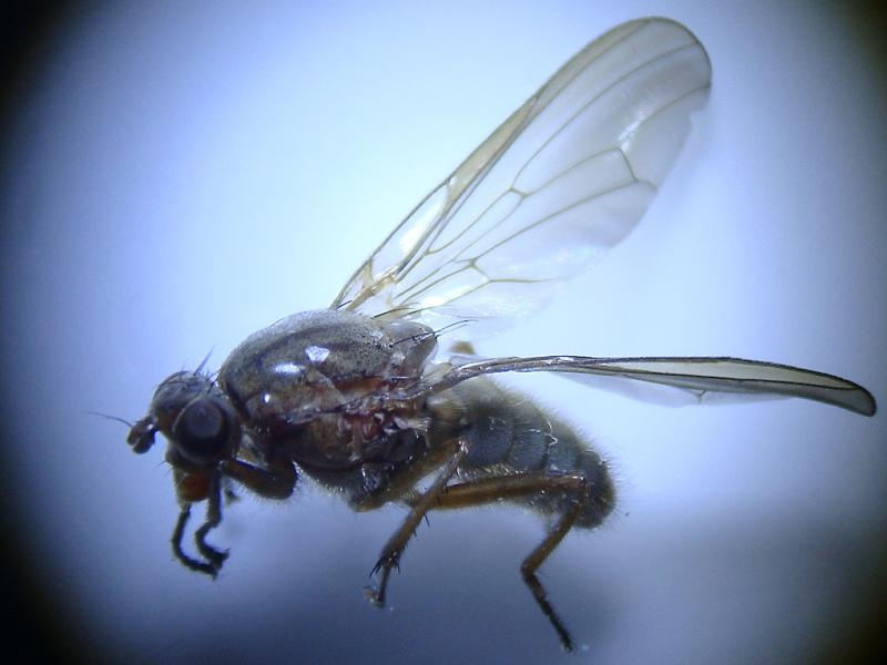 Dryomyza flaveola