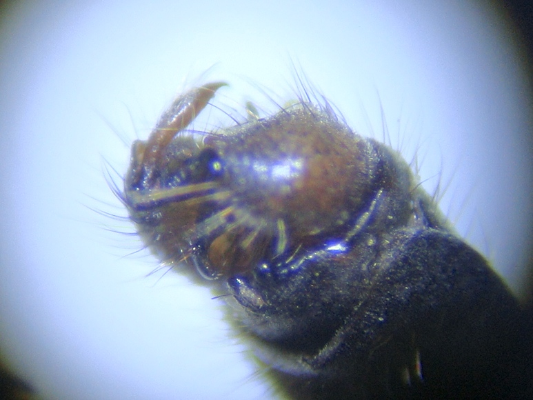 Limnophila schranki