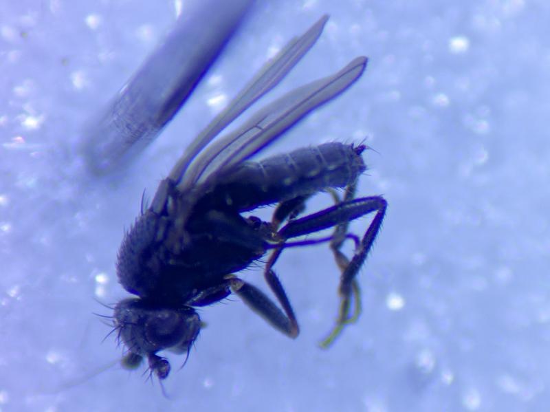 Apteromyia claviventris