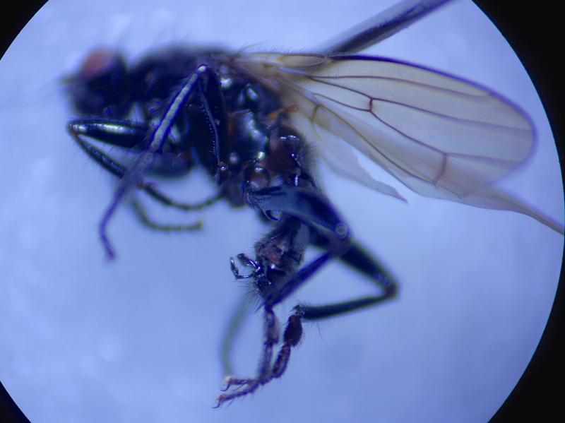 Crumomyia nitida