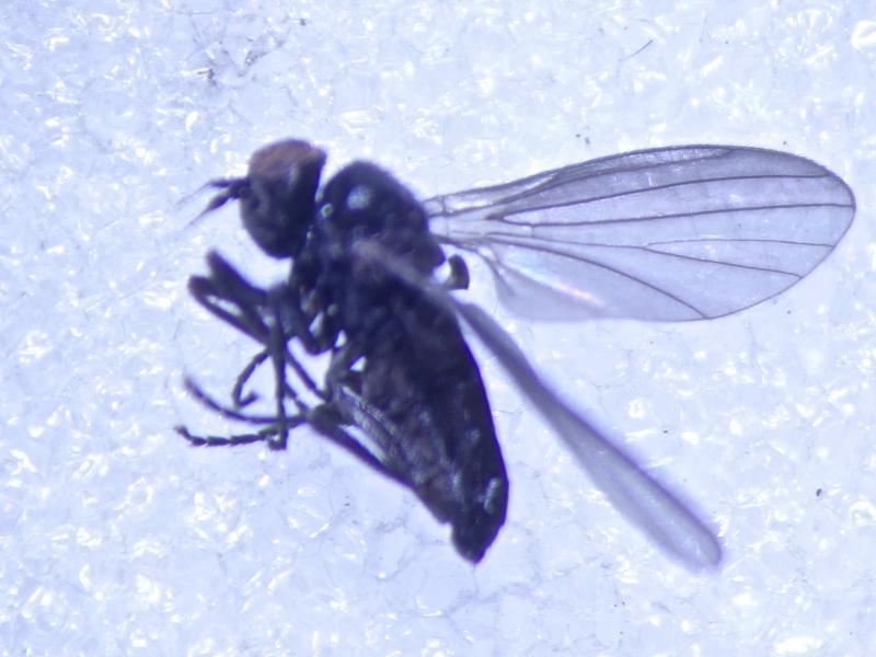 Opetia nigra
