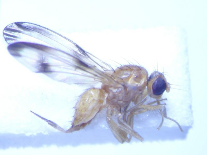 Palloptera trimaculata