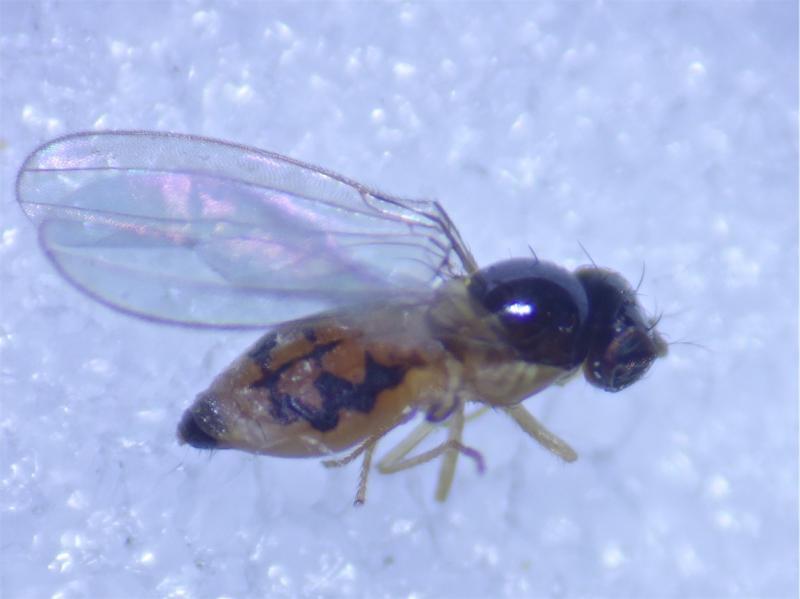 Asteia amoena