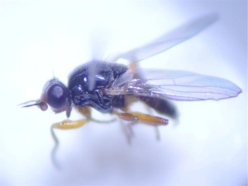 Elachiptera diastema