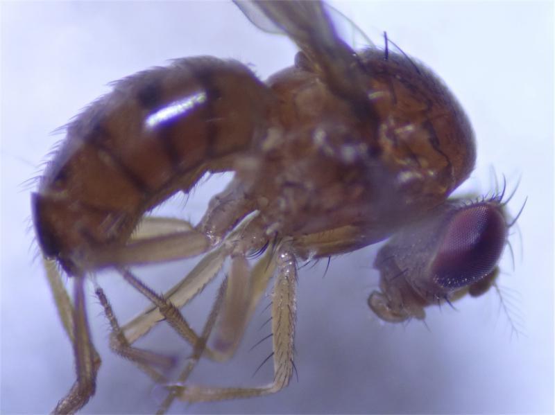 Drosophila limbata
