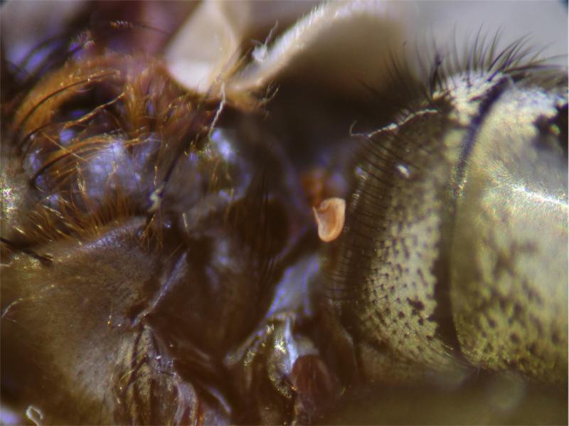 Pollenia labialis