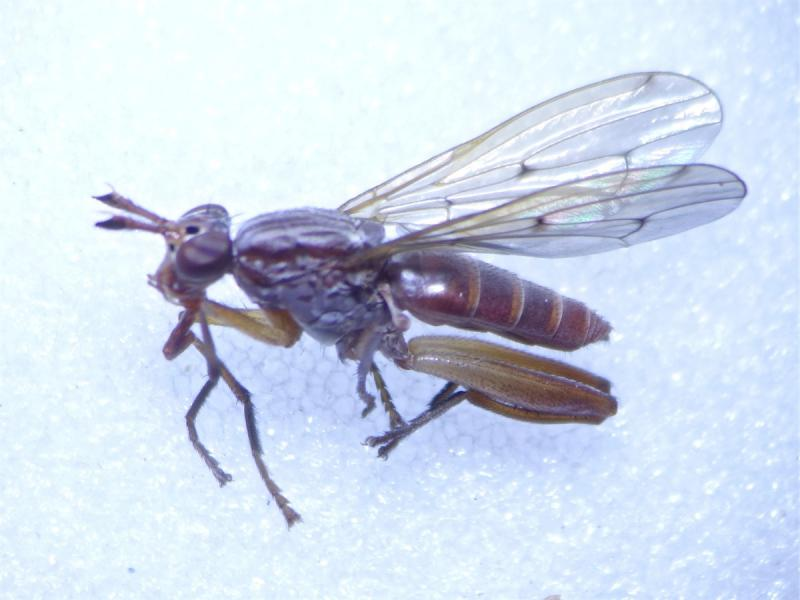 Sepedon spinipes