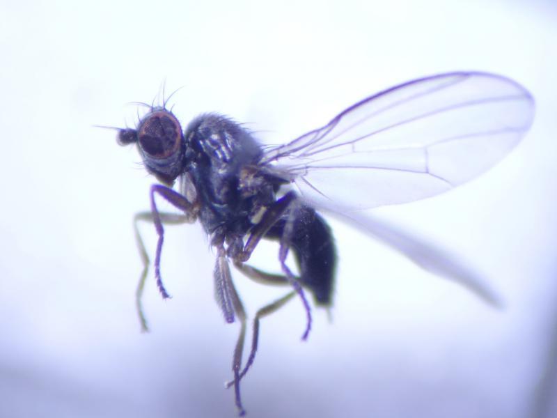Acartophthalmus nigrinus