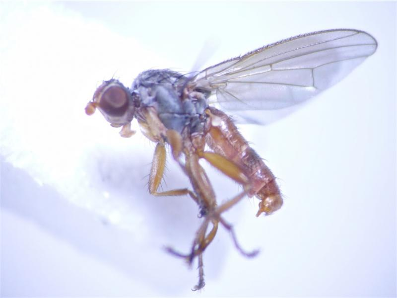 Neoleria ruficeps