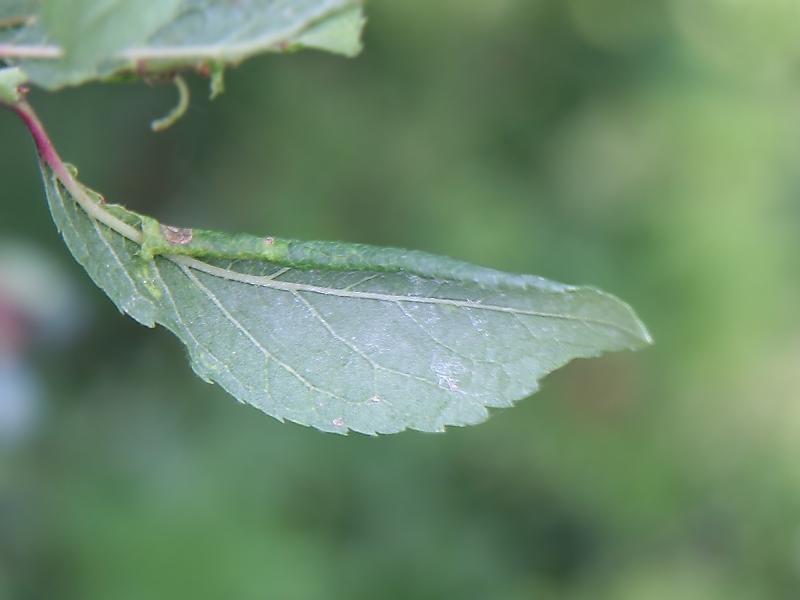 Pristiphora (Micronematus) monogyniae (Hartig, 1840)