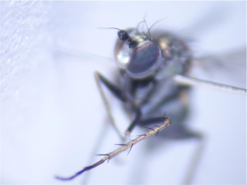 Dolichopus vitripennis
