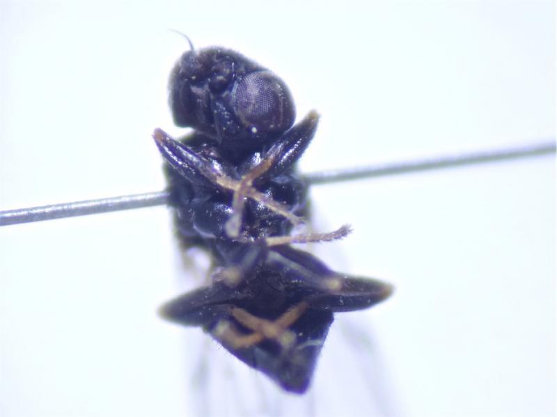 Calamoncosis aprica
