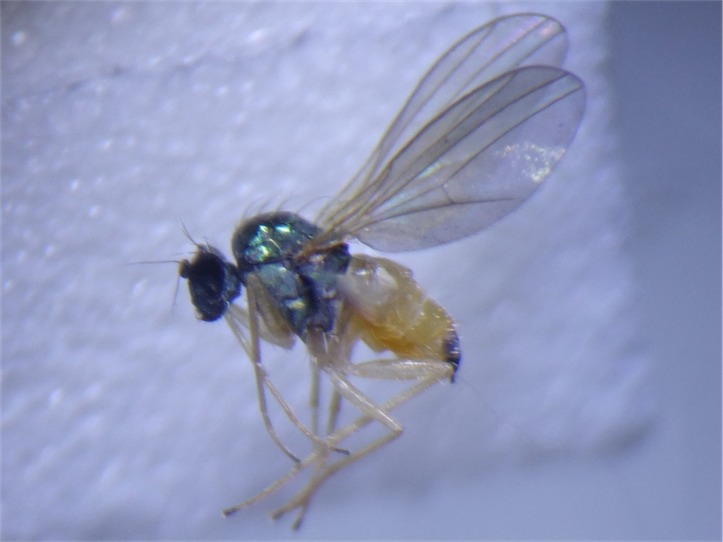 Chrysotimus molliculus