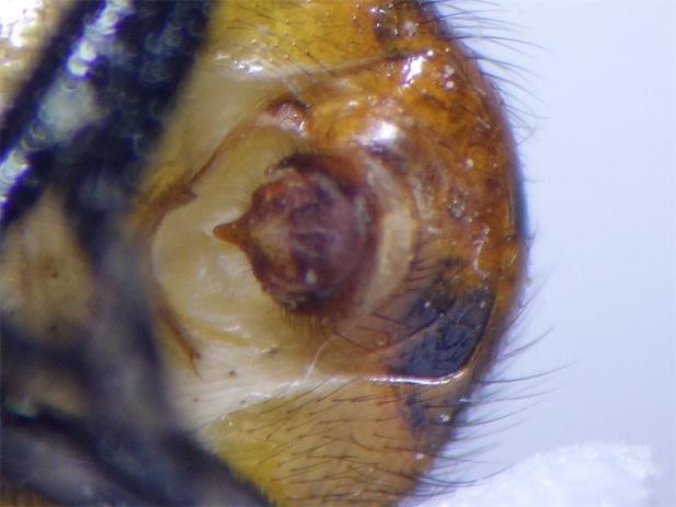 Gymnosoma nudifrons