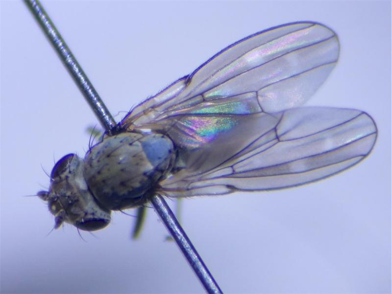Scatella subguttata