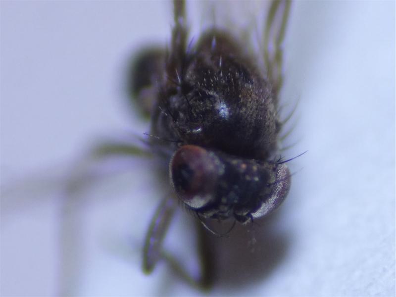 Drosophila bifasciata