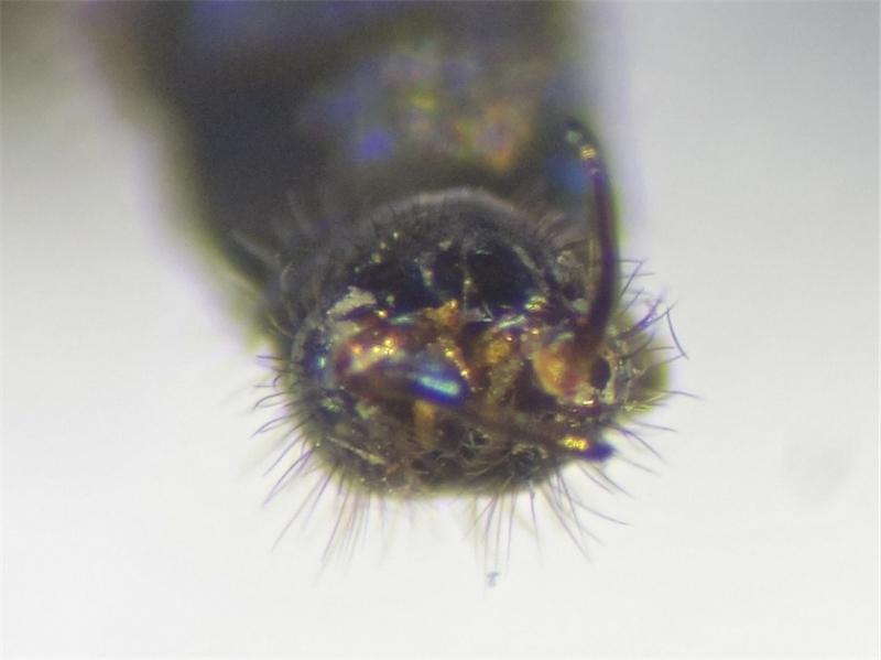 Gnophomyia viridipennis