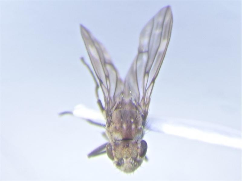 Scatophila despecta