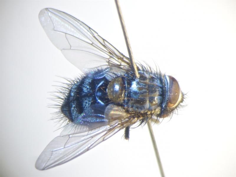 Carcellia kowarzi
