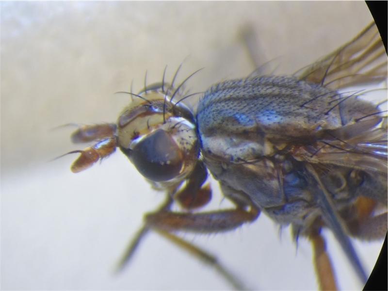 Hydromya dorsalis