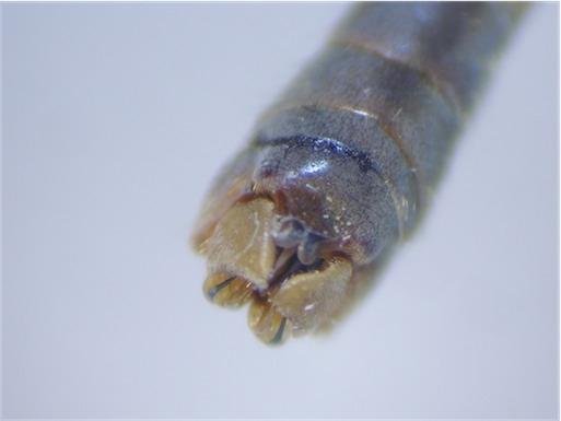Tipula oleracea(m)