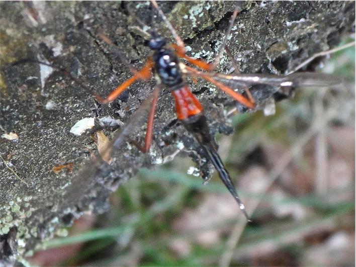 Tanyptera atrata Houtlangpootmug(f)