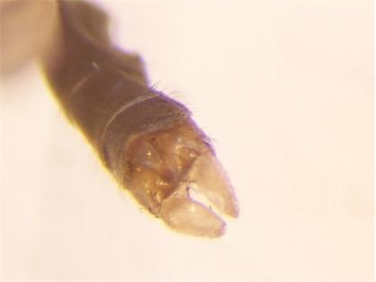 Dicranomyia longipennis