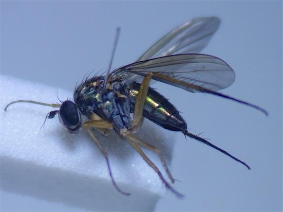 Dolichopus discifer