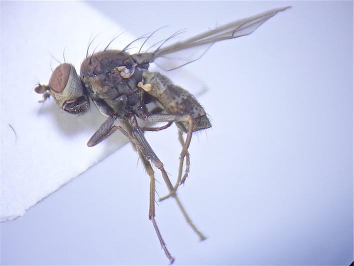Notophila stagnicola