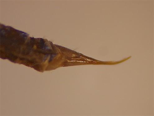 Pilaria scutellata