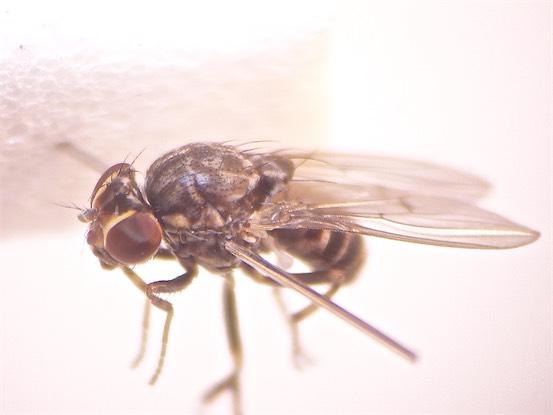 Phortica semivirgo