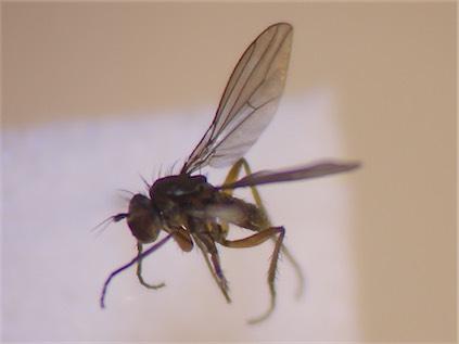 Campsicnemus armatus(f)