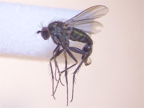 Dolichopus tanythrix