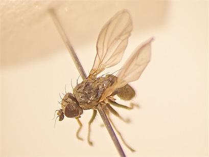 Chamaemyia aridella