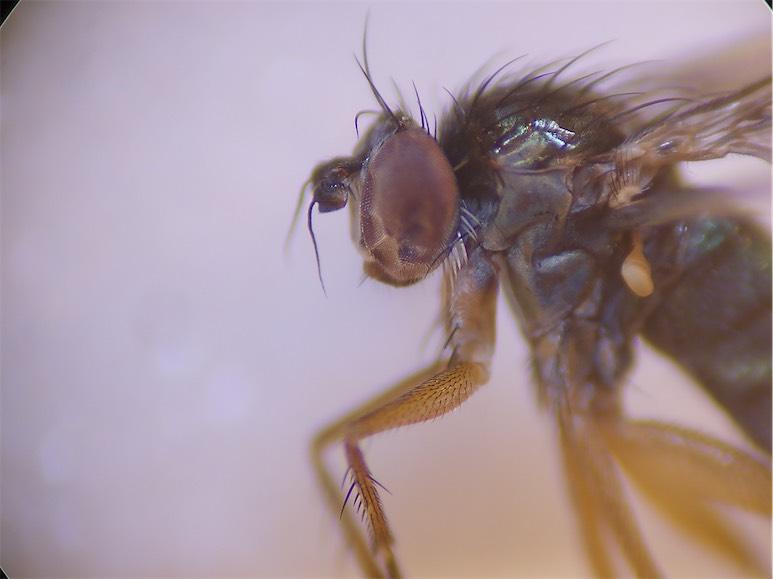 Dolichopus sabinus(f)