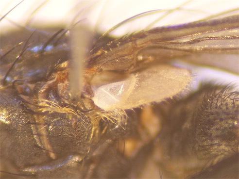 Bellardia pubicornis