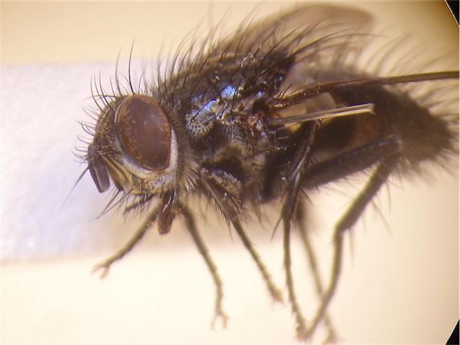 Blondelia nigripes(m)