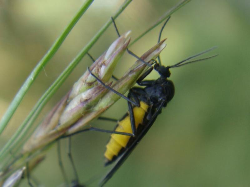 Sciaridae indet.