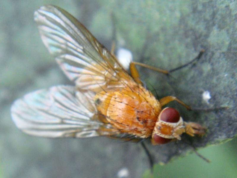 Phaonia pallida(f)