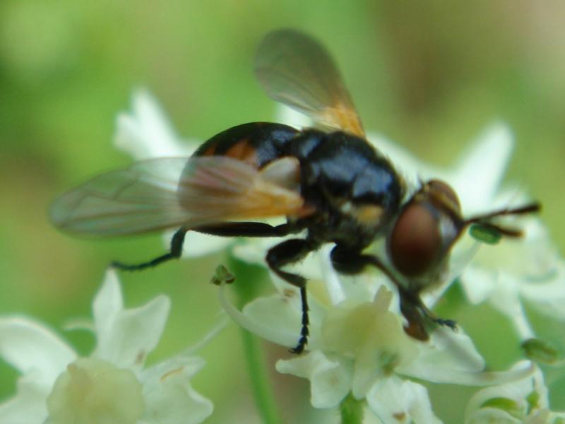 Gymnosoma cf. dolycoroides(f)