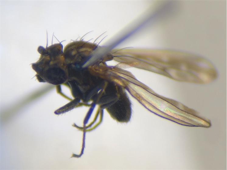 Scatophila noctula