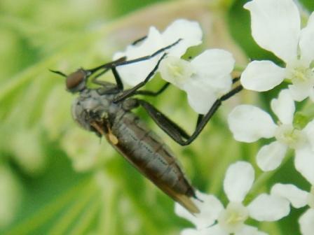 Rhamphomyia cinerascens(f)