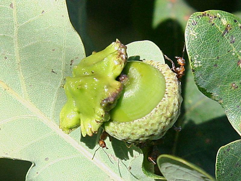Andricus quercuscalicis (Burgsdorff, 1783) ff