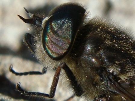 Hybomitra bimaculata Bosknobbeldaas